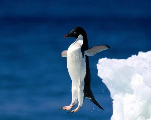 フリー写真素材, 動物, 鳥類, ペンギン科, 飛び込む・ダイブ,