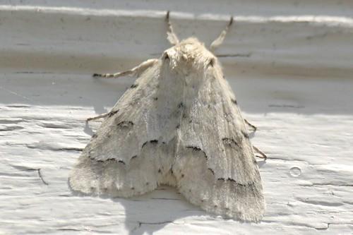 Unmarked Dagger Moth (6)