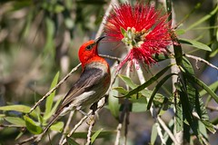 Scarlet Honeyeater (petefeats) Tags: nature birds australia brisbane queensland scarlethoneyeater sherwoodarboretum