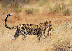 Leopard's dinner - Part 4/5: Proud hunter (jensvins) Tags: africa wild tree cat dead kenya wildlife leopard hunter prey samburu hunt dikdik threatened iucn