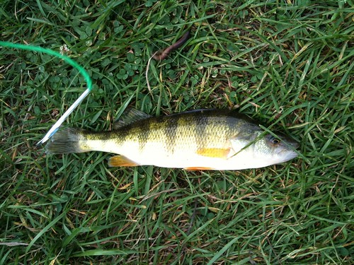 Perch just caught