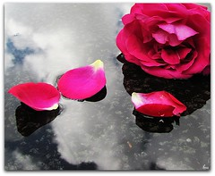Rain.........Wash away my sorrow, ease away my pain...... (Pink Flutterby   OFF) Tags: pink roses sky cloud flower reflection wet water rain rose clouds canon puddle petals lyrics song madonna powershot petal explore raining frontpage sx120is sx120