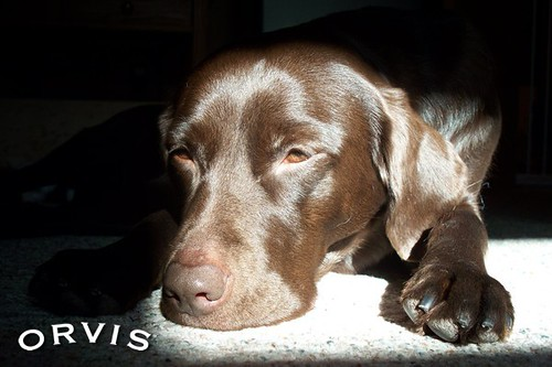 Orvis Cover Dog Contest - Loonna