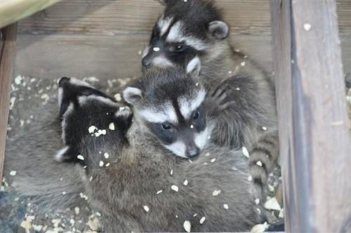 raccoons, sharon metcalf, cyberspace