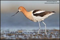 American Avocet (Recurvirostra americana) (Glenn Bartley - www.glennbartley.com) Tags: canada bird birds animal animals outdoors photography wildlife aves canadian alberta environment picturesque animalia avian animalsinthewild recurvirostraamericana colorimage beautyinnature colourimage americanavocetrecurvirostraamericana slbwading glennbartley