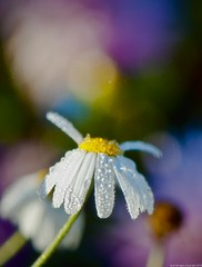 ~ morning has broken ~ (Janey Kay) Tags: flowers flower macro fleur closeup fleurs sunrise dawn bokeh flor september dew versailles daisy bp blume fiore septembre flou 2010 aurore aube baladematinale rose nikkor60mm leverdusoleil parcdeversailles nikkor60mm28 janeykay baladesparisiennes nikond300s