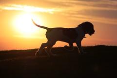 IMG_5596 (chrisgandy2001) Tags: sunset sky dog sun cute english ess puppy dusk sunny ears spaniel springer springerspaniel doggy pup puppydog englishspringerspaniel englishspringer colorphotoaward