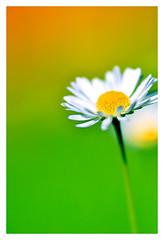 Daisy Do (Psyco_Babble) Tags: macro daisy lush mondays