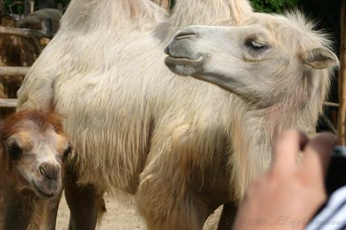 Model - Camel