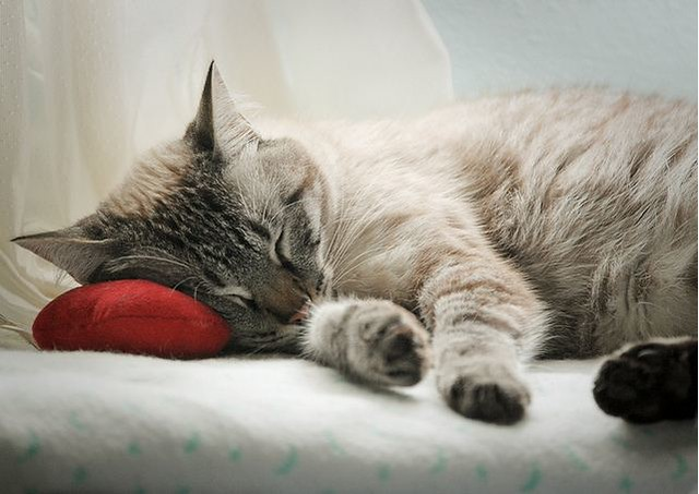 cute rescued siamese cat napping on a pillow