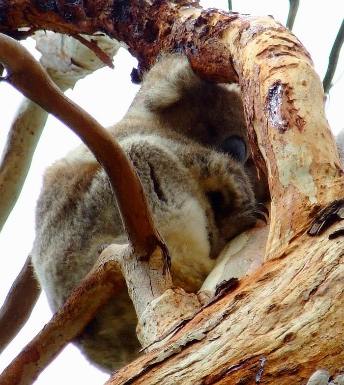 koala naptime 3
