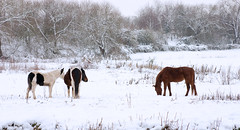 Horses In The  Snow (pierre1926) Tags: uk winter england horses horse white snow canon landscape photo 300d canon300d surrey