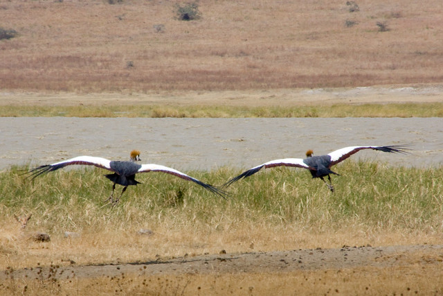 Ngoron Goro Crater - Flying Crowned Cranes
