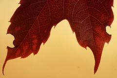 Fall (Colognid) Tags: red orange rot fall leaf wine herbst gelb makro blatt hdr weinlaub colorefexpro