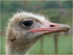 Observo (DMCunit) Tags: avestruz cantabria cabrcenos