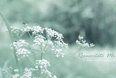 ...resuscitate this life of mine... (Thushan S. Withana-Gamage) Tags: wild flower bravo saskatoon srilanka saskatchewan wildflower watcher sanjeewa pikelake queenanneslace magicdonkey thushan flowerwatcher thushansanjeewa