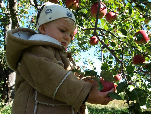 Apples10 008