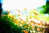 waft (moaan) Tags: life leica flower digital 50mm flora dof wind bokeh f10 september utata flowering noctilux cosmos 2010 m9 orangecosmos cosmossulphureus inlife leicanoctilux50mmf10 blowninthewind leicam9 gettyimagesjapanq1 gettyimagesjapanq2