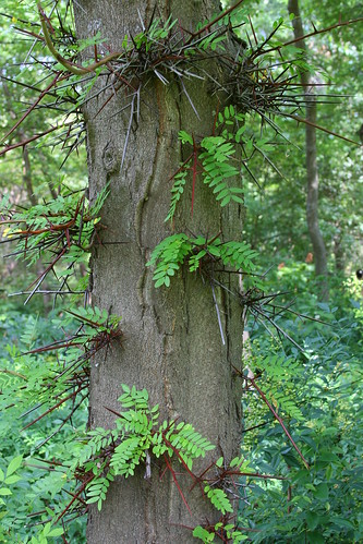 NOT thornless honeylocust