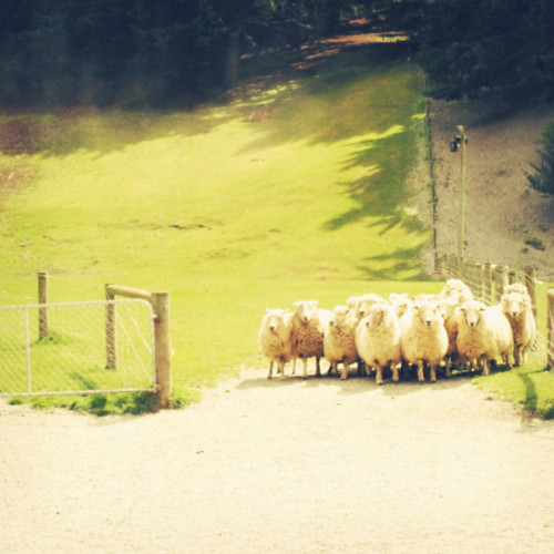 sheep everywhere