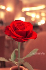 (NOURA - alshaya ) Tags: flowers rose               nouero