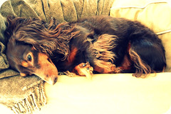 coco naps (andrea creates) Tags: coco sept10 chocolateandtan longhairminiaturedachshund