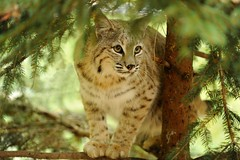 Eastern Bobcat (Tyler Evert) Tags: west virginia wildlife wv frenchcreek easternbobcat