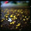 (19/77) Tags: flower slr film malaysia 1977 negativescan kiev88 mediumfromat kodakektacolorpro160 autaut canoscan8800f arsat80mmf28 myasin