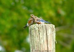 Eastern Bluebird Juveniles (Image Hunter 1) Tags: nature birds louisiana post pair bayou swamp marsh bluebird eastern juvenile easternbluebird juveniles birdslouisiana panasonicfz28 bayoucourtableau raynox2025hd22x