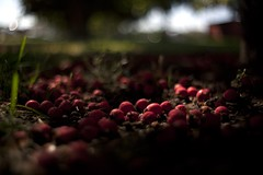 crabapples (didnotspillcoffee) Tags: focus colorado dof bokeh denver co canon5d manual crabapples enfoque didnotspillcoffee 35mmsupertakumarf2