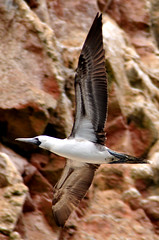 Peruvian booby (mothclark62) Tags: bird peru nature wildlife guano seabird booby paracas ballestas islasballestas paracasnationalreserve peruvianbooby guanoisland ballastasislands ballastasisles