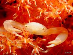 Porcelain crab (_takau99) Tags: ocean trip travel sea vacation bali holiday fish macro uw water topv111 pen indonesia underwater diving olympus topv222 september scubadiving topf10 komodo 2010 takau99 penlite platinumheartaward epl1