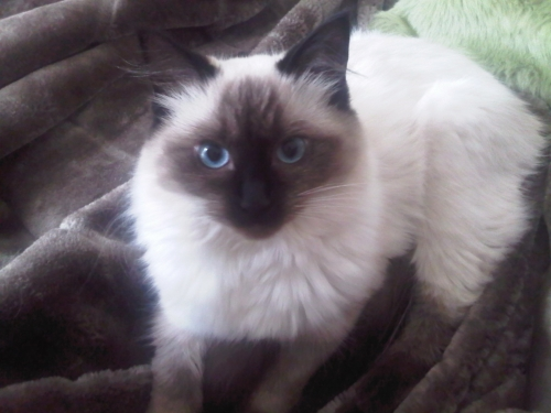 cute cat ragdoll