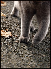 paces (ronjaa photography) Tags: street cat walking grey legs september crop katze 2010 paces schritte tatzen ronjaa