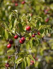 ripe prunus ilicifolia