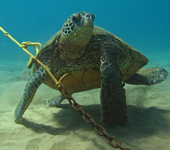 fighting for position (bluewavechris) Tags: ocean life blue sea brown green water animal coral swim hawaii sand marine underwater turtle reptile bottom dive shell maui line anchor reef creature flipper