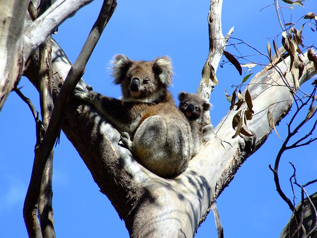 mommy and baby koala