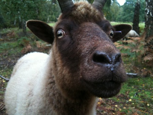 Manx Loghtan sheep