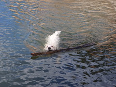 Good Boy (halseike) Tags: dog white water log stick fetch swimmig