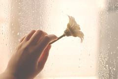 [ 3 \ 45 ] (Ebtesam.) Tags: flower rain 35mm project drops day hand 45 saudi arabia jeddah abdullah    nikond40x ebtesam