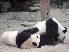 Panda Bears, Beijing Zoo