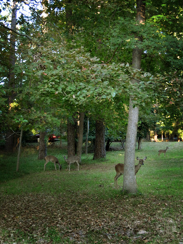 the deer are thick