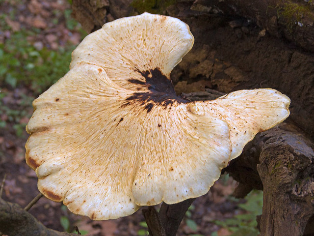 Meramec Conservation Area, near Sullivan, in Franklin County, Missouri, USA - mushroom 3