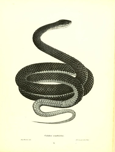 003-Coluber constrictor-North American herpetology…1842-Joh Edwards Holbrook