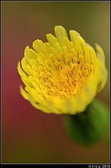Almost there... (itsrbtime) Tags: flowers india macro nature yellow nikon bangalore bloom bud reverselens lensreversal nikon50mmf14 nikond90 rijubhattacharya itsrbtime