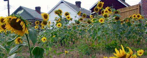 Braddock sunflowers & houses (detail from photo by: Jennifer Brandel, creative commons license)