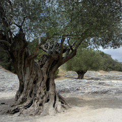 ancient olive trees (perseverando) Tags: trees ancient roman olive aqueduct pontdugard perseverando