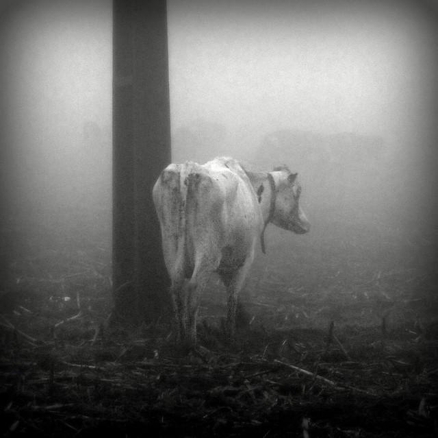 cow #049