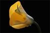 Calla Lily (Bahman Farzad) Tags: lily calla callalily yellowcallalily callalilyyellow