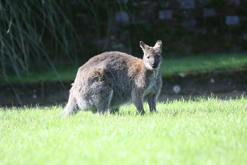 Wallaby!